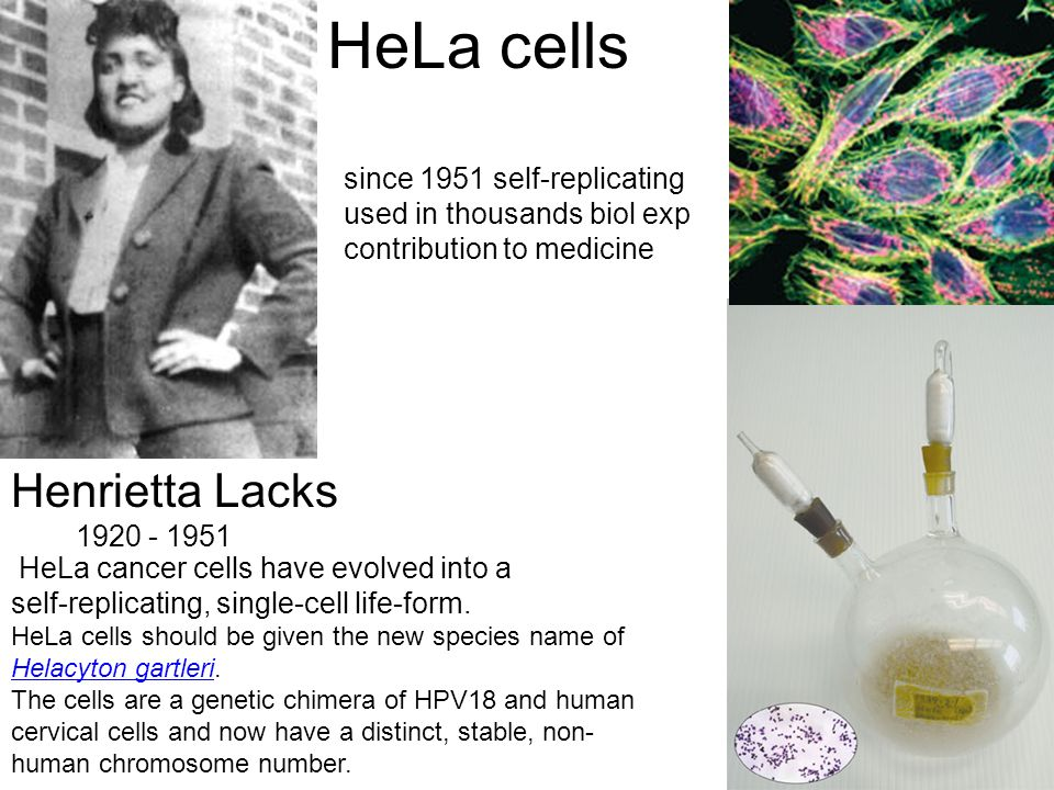 Henrietta Lacks 1920 - 1951 HeLa cancer cells have evolved into a self-replicating, single-cell life-form. HeLa cells should be given the new species