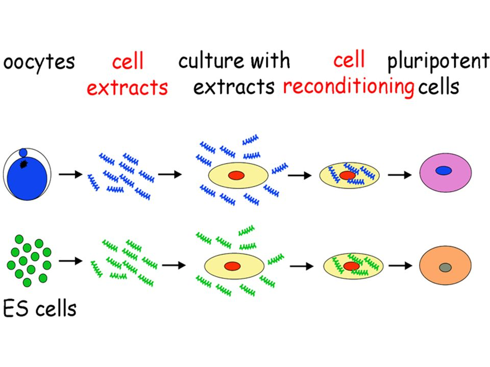 Yamanaka and coworkers (2006/07): 1 on 5,000 0.02% Thomson and coworkers (2007): 1 on 10,000 0.01% cytoplasts (insulinoma & stem cell extracts) Collas and coworkers (2004): 1 on 2 50% Redi and coworkers (2007): 1 on 3,000 0.03% retrotransfections (stemness & oncogenes)