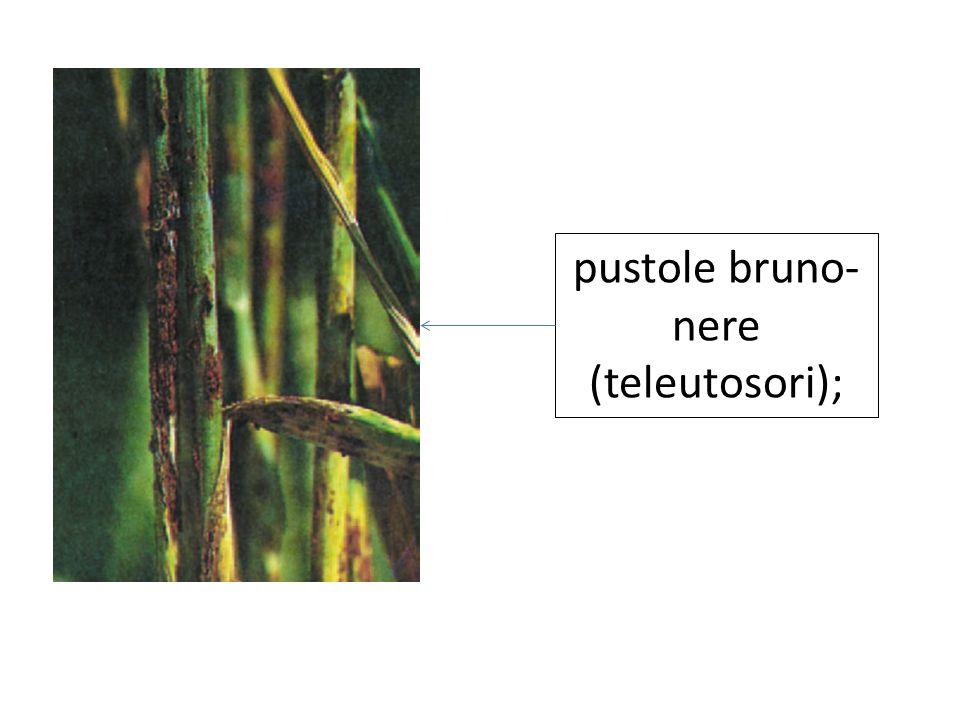 Danni sul frumento La pianta ingiallisce e con il tempo dissecca; inoltre produce una minore quantità di granella che comunque si presenta raggrinzita