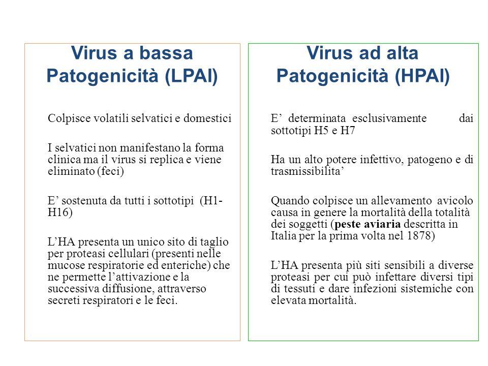 Virus a bassa Patogenicità (LPAI) Colpisce volatili selvatici e domestici I selvatici non manifestano la forma clinica ma il virus si replica e viene