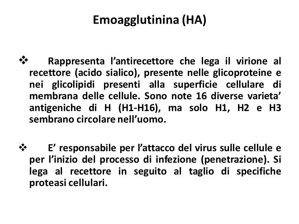 Emoagglutinina (HA) Rappresenta lantirecettore che lega il virione al recettore (acido sialico), presente nelle glicoproteine e nei glicolipidi presen