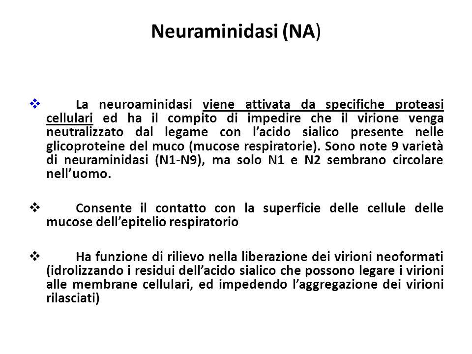 Neuraminidasi (NA) La neuroaminidasi viene attivata da specifiche proteasi cellulari ed ha il compito di impedire che il virione venga neutralizzato d