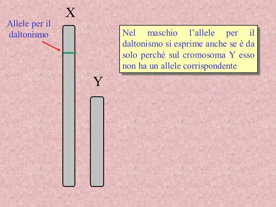 X Y Nel maschio lallele per il daltonismo si esprime anche se è da solo perché sul cromosoma Y esso non ha un allele corrispondente