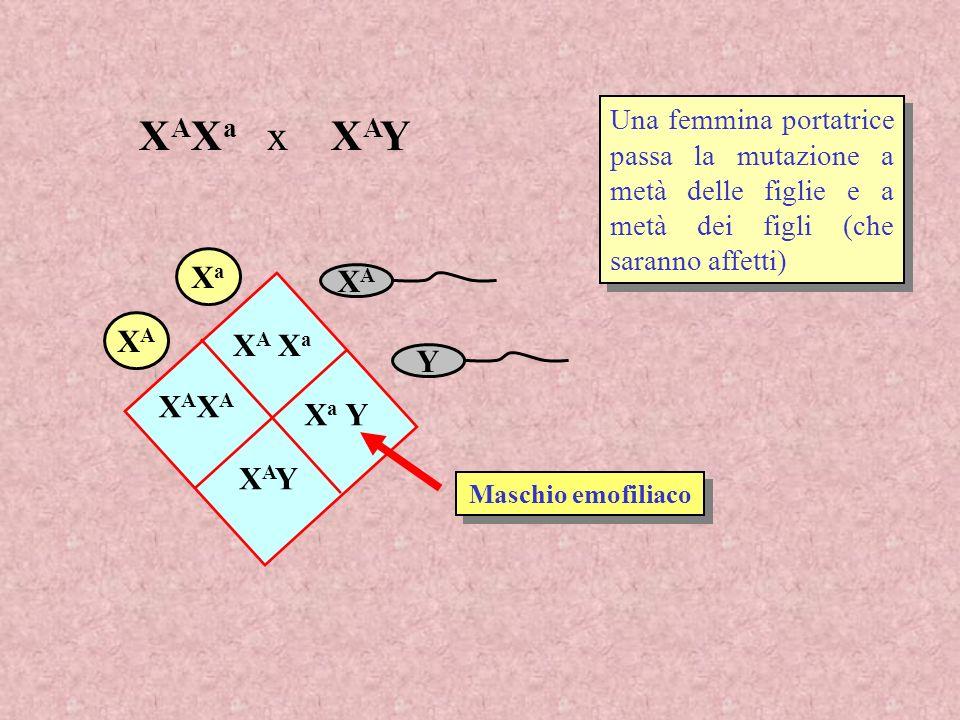 Una femmina portatrice passa la mutazione a metà delle figlie e a metà dei figli (che saranno affetti) XAXA Y XaXa XAXA X A X a XAXAXAXA X a Y XAYXAY