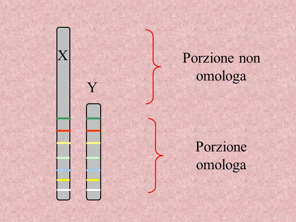 Porzione non omologa Porzione omologa X Y