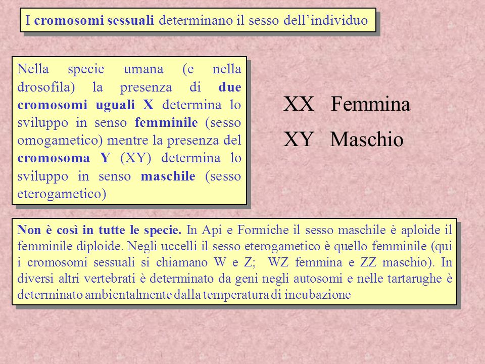I cromosomi sessuali determinano il sesso dellindividuo XX Femmina XY Maschio Nella specie umana (e nella drosofila) la presenza di due cromosomi ugua