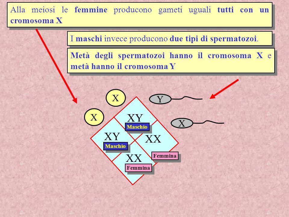 I due tipi di spermatozoi rispondono in modo leggermente diverso alle condizioni ambientali dellapparato genitale femminile (es pH), hanno velocità e longevità differente.