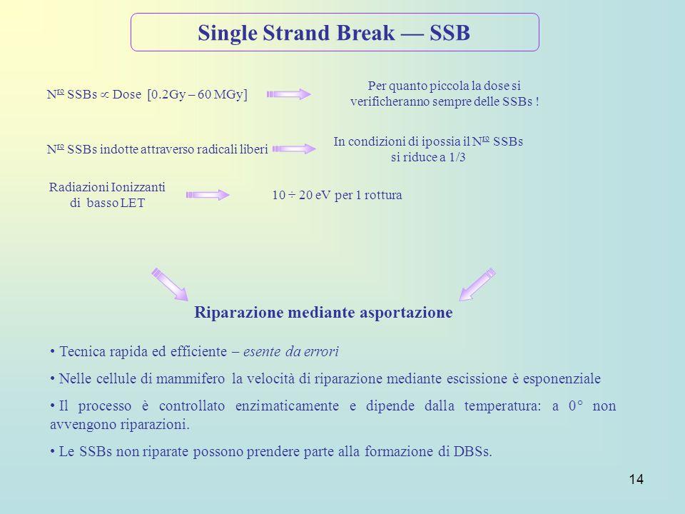 14 Single Strand Break SSB N ro SSBs Dose [0.2Gy – 60 MGy] Per quanto piccola la dose si verificheranno sempre delle SSBs ! Radiazioni Ionizzanti di b