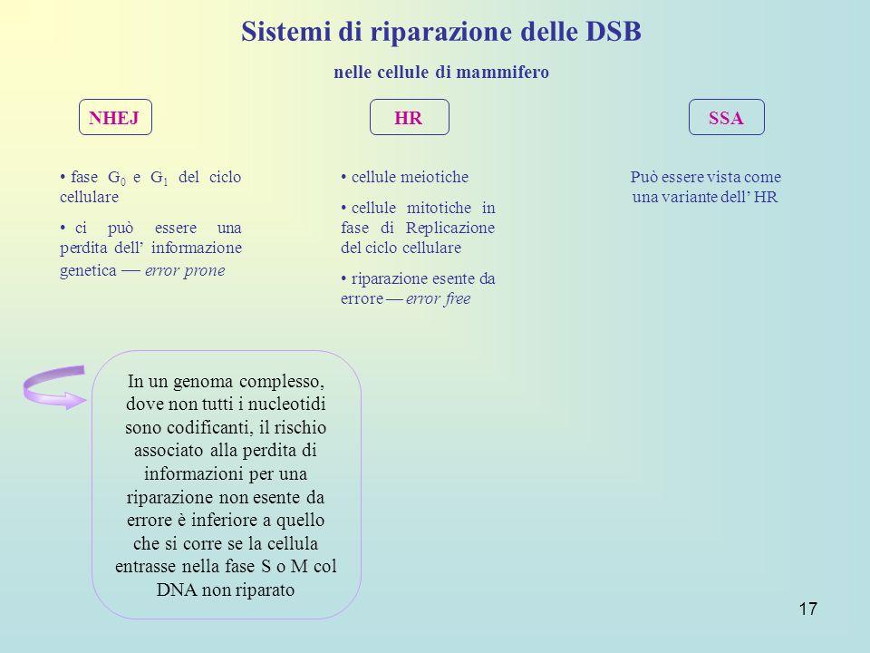 17 Sistemi di riparazione delle DSB nelle cellule di mammifero NHEJ HR SSA fase G 0 e G 1 del ciclo cellulare ci può essere una perdita dell informazi