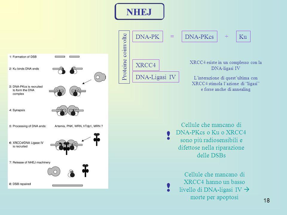 18 NHEJ DNA-PK = DNA-PKcsKu + XRCC4 DNA-Ligasi IV ! Cellule che mancano di DNA-PKcs o Ku o XRCC4 sono più radiosensibili e difettose nella riparazione