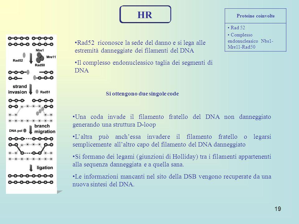19 HR Rad52 riconosce la sede del danno e si lega alle estremità danneggiate dei filamenti del DNA Il complesso endonucleasico taglia dei segmenti di