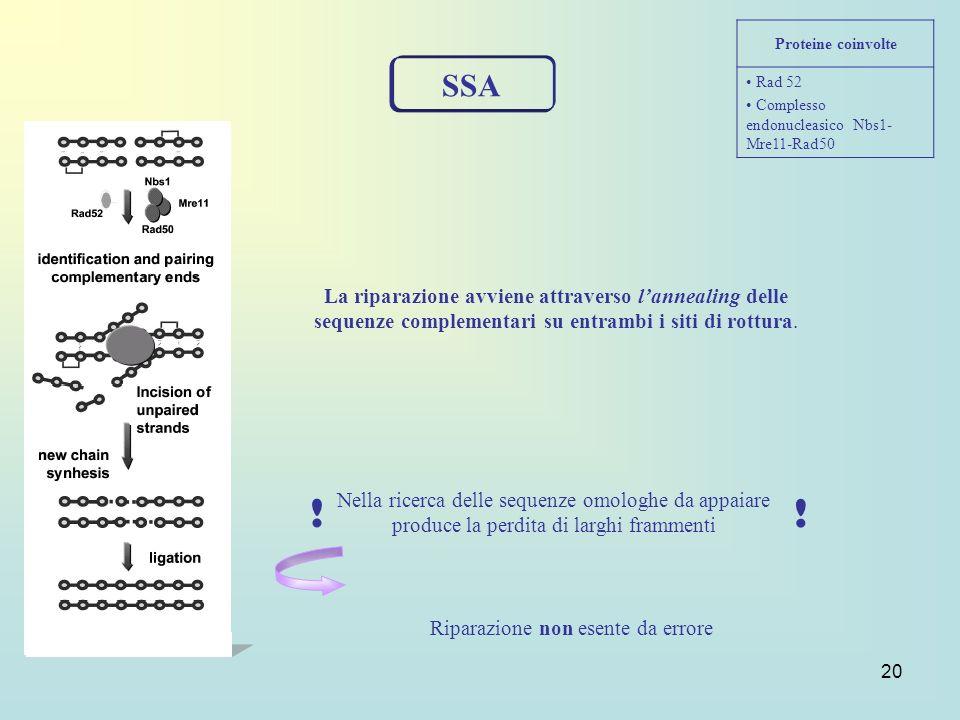 20 SSA Proteine coinvolte Rad 52 Complesso endonucleasico Nbs1- Mre11-Rad50 La riparazione avviene attraverso lannealing delle sequenze complementari