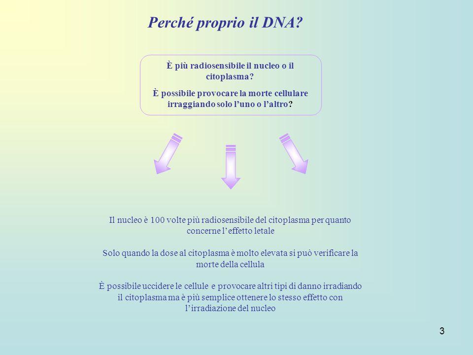 3 Perché proprio il DNA? È più radiosensibile il nucleo o il citoplasma? È possibile provocare la morte cellulare irraggiando solo luno o laltro? Il n