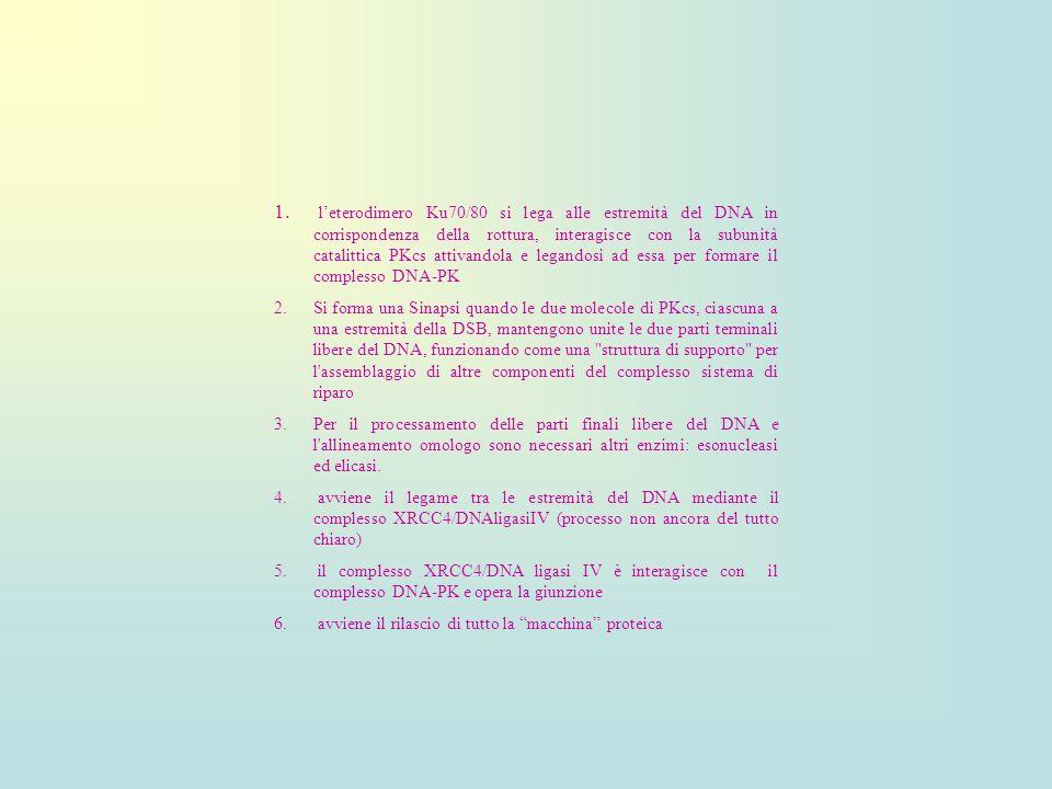 1. leterodimero Ku70/80 si lega alle estremità del DNA in corrispondenza della rottura, interagisce con la subunità catalittica PKcs attivandola e leg