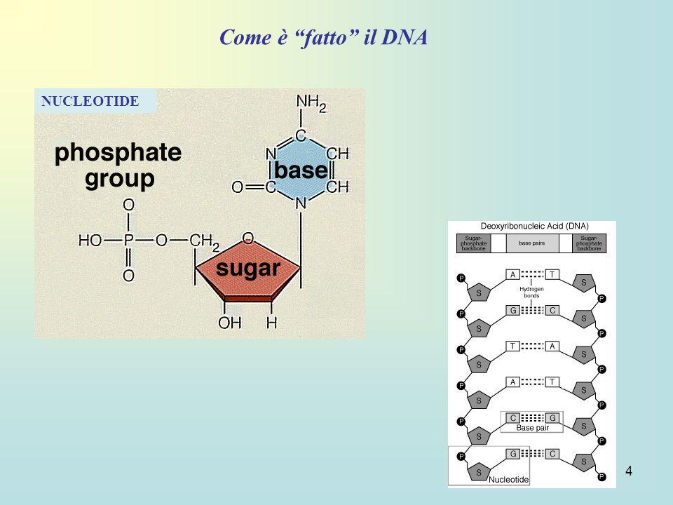 15 Viene asportato il tratto di catena contenente il frammento deficitario di DNA e viene utilizzata il filamento non alterato complementare della catena per la risintesi del nuovo tratto di DNA.