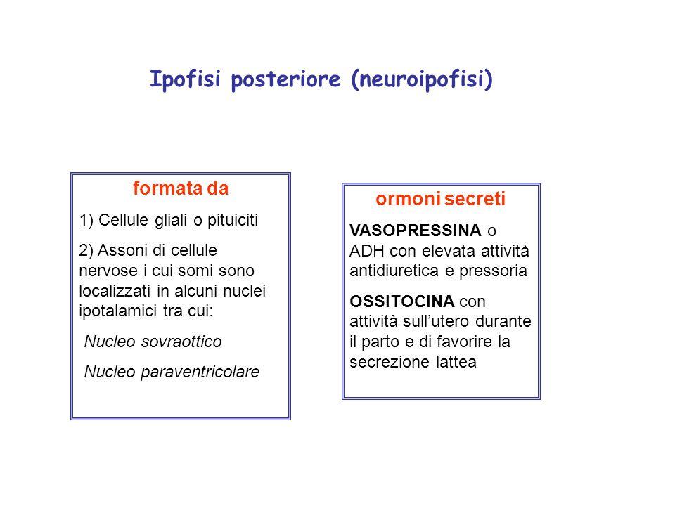 Ipofisi posteriore (neuroipofisi) formata da 1) Cellule gliali o pituiciti 2) Assoni di cellule nervose i cui somi sono localizzati in alcuni nuclei i