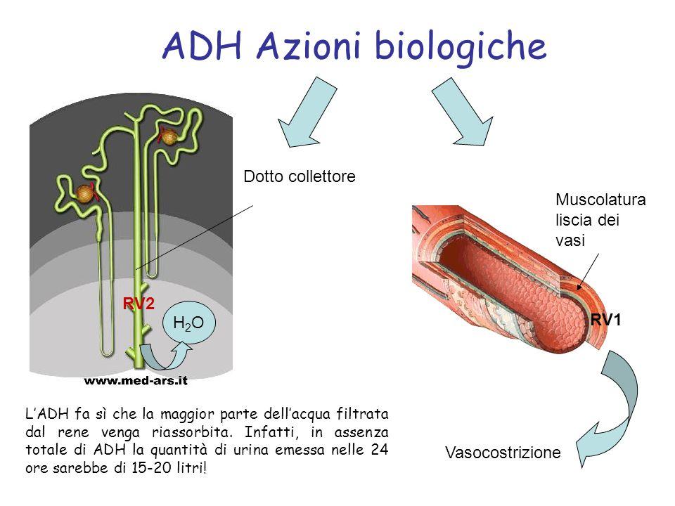 ADH Azioni biologiche LADH fa sì che la maggior parte dellacqua filtrata dal rene venga riassorbita. Infatti, in assenza totale di ADH la quantità di