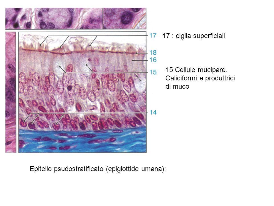 Epitelio cubico semplice (pancreas): notare i nuclei sferici, caratteristica delle cellule cubiche