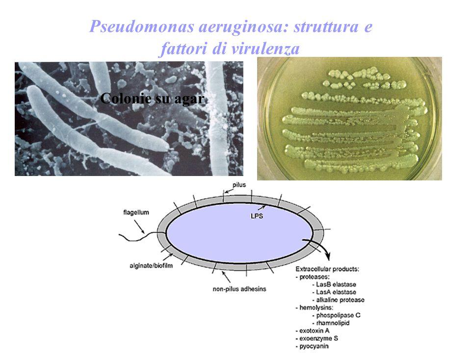 Colonie su agar Pseudomonas aeruginosa: struttura e fattori di virulenza