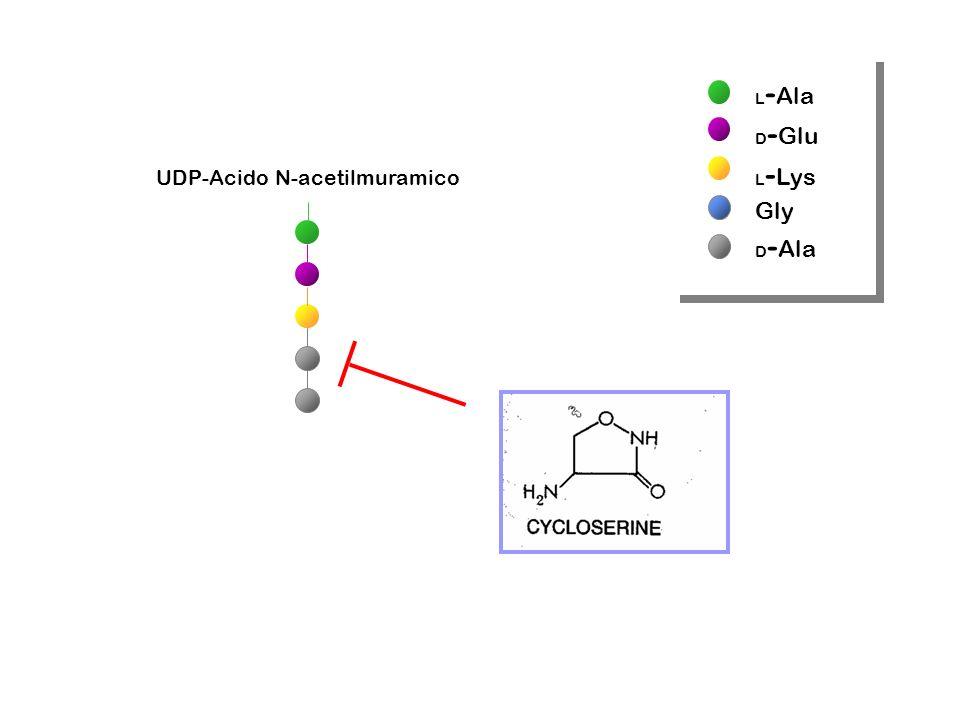 UDP-Acido N-acetilmuramico L - Ala D - Glu L - Lys Gly D - Ala