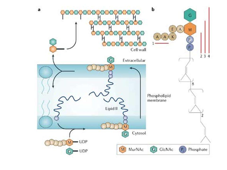 Classificazione delle -lattamasi Classe A: comprende la maggior parte delle forme di rilevanza clinica, generalmente codificate da plasmidi e sensibili agli inibitori attualmente in commercio; contengono un residuo di serina a livello del sito attivo Classe B: sono metalloenzimi, contenenti un atomo di Zn a livello del sito attivo e sono quelle con la più ampia specificità di substrato; sono insensibili agli inibitori attualmente in commercio Classe C: sono generalmente codificate da DNA cromosomiale e attive nei confronti delle cefalosporine, che sono in grado di indurne lespressione attraverso derepressione genica; contengono un residuo di serina a livello del sito attivo Classe D: sono attive principalmente nei confronti delle oxacilline; contengono un residuo di serina a livello del sito attivo