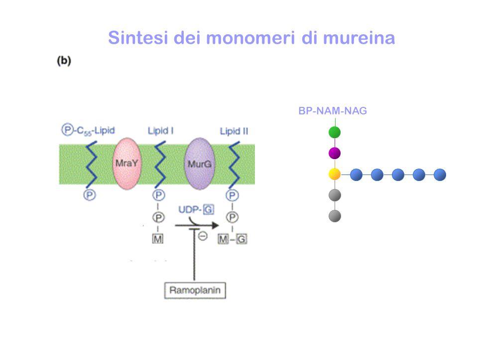 Traslocazione dei monomeri di mureina