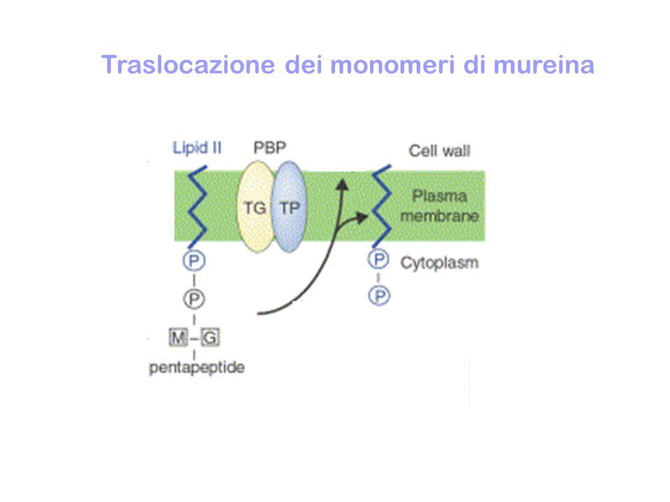 SINTESI DELLA PARETE DEI BATTERI Sintesi dei monomeri di mureina Traslocazione dei monomeri di mureina Formazione di polimeri lineari di mureina (transglicosilazione) NAM Gly 5 NAGNAM Gly 5 NAGNAM Gly 5 NAGNAM Gly 5 NAG