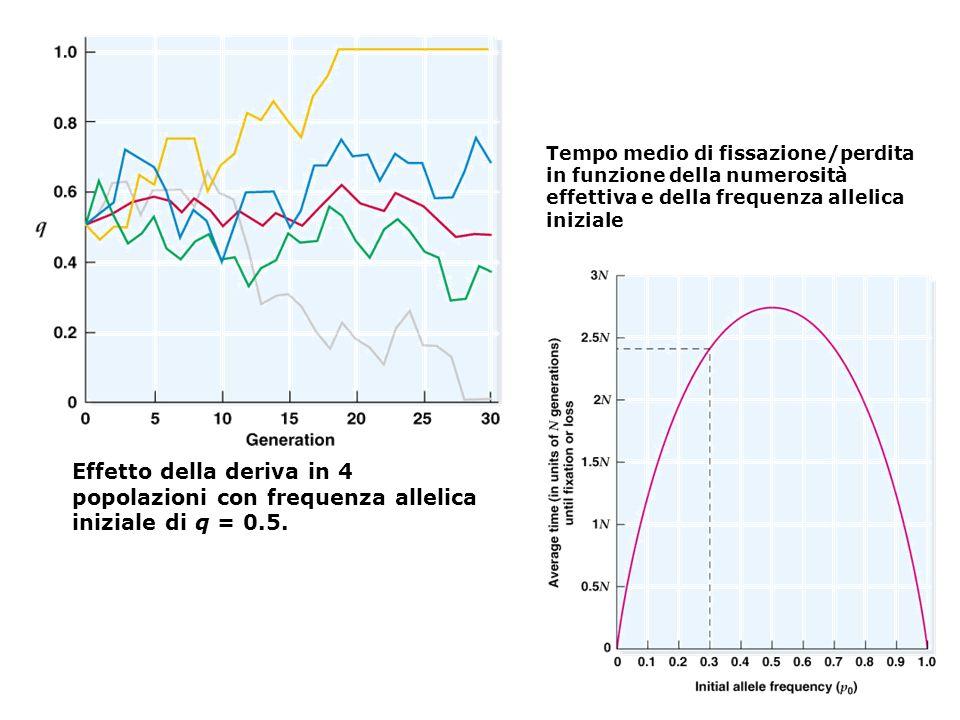 Effetto della deriva in 4 popolazioni con frequenza allelica iniziale di q = 0.5. Tempo medio di fissazione/perdita in funzione della numerosità effet