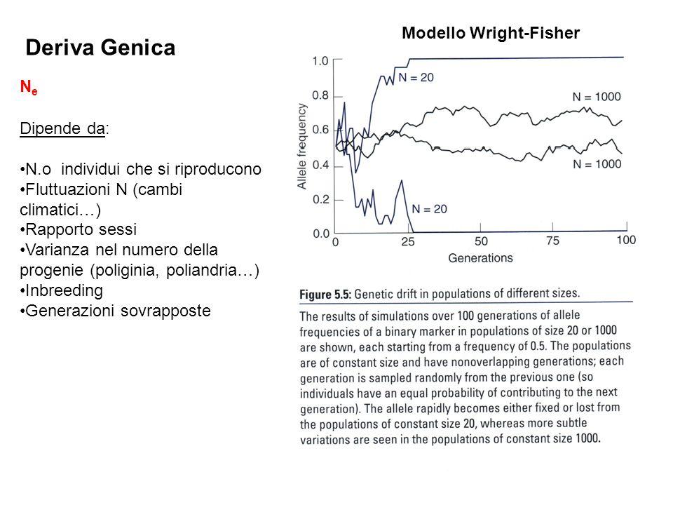 Deriva Genica NeNe Modello Wright-Fisher Dipende da: N.o individui che si riproducono Fluttuazioni N (cambi climatici…) Rapporto sessi Varianza nel nu