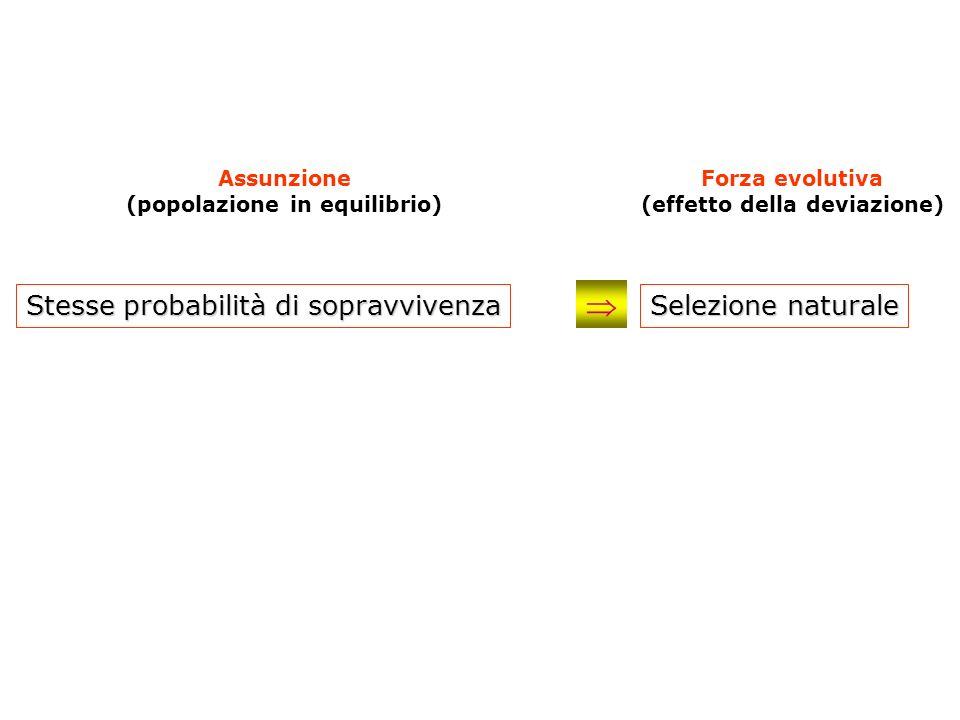 Stesse probabilità di sopravvivenza Assunzione (popolazione in equilibrio) Forza evolutiva (effetto della deviazione) Selezione naturale
