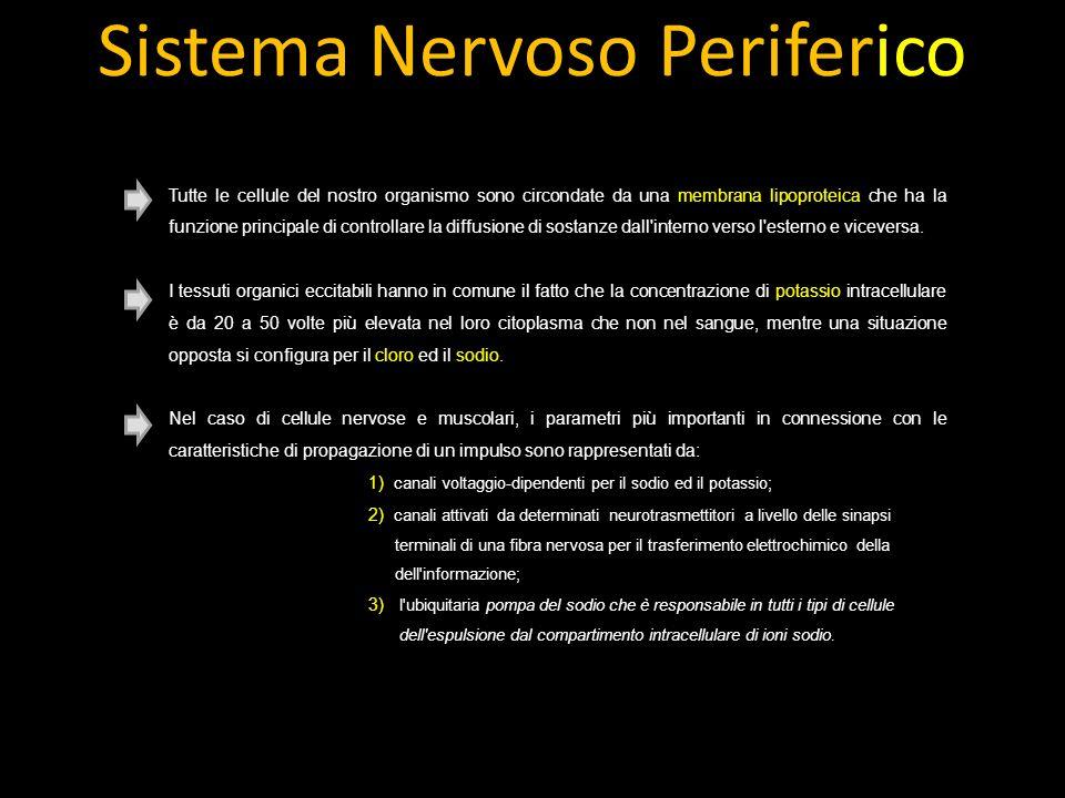 Sistema Nervoso Periferico Tutte le cellule del nostro organismo sono circondate da una membrana lipoproteica che ha la funzione principale di controllare la diffusione di sostanze dall interno verso l esterno e viceversa.