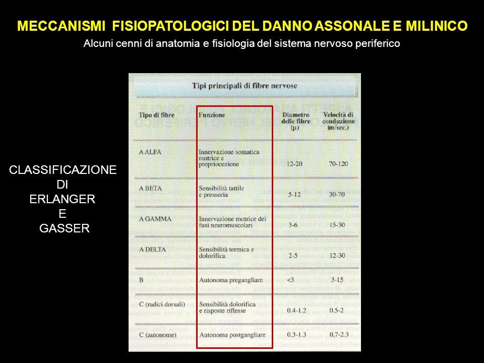 MECCANISMI FISIOPATOLOGICI DEL DANNO ASSONALE E MILINICO Alcuni cenni di anatomia e fisiologia del sistema nervoso periferico CLASSIFICAZIONE DI ERLANGER E GASSER