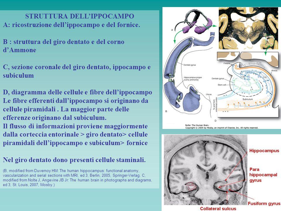 STRUTTURA DELLIPPOCAMPO A: ricostruzione dellippocampo e del fornice. B : struttura del giro dentato e del corno dAmmone C, sezione coronale del giro