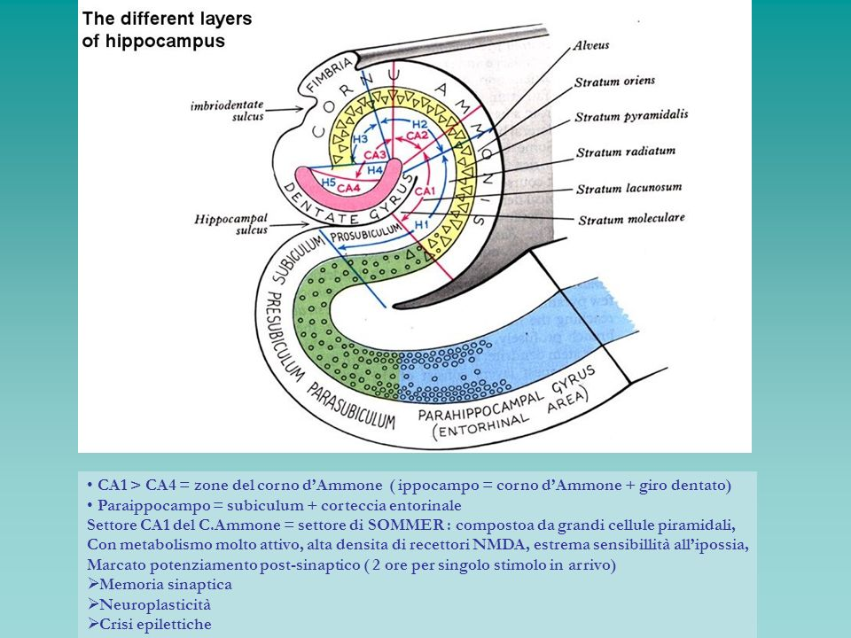 CA1 > CA4 = zone del corno dAmmone ( ippocampo = corno dAmmone + giro dentato) Paraippocampo = subiculum + corteccia entorinale Settore CA1 del C.Ammo
