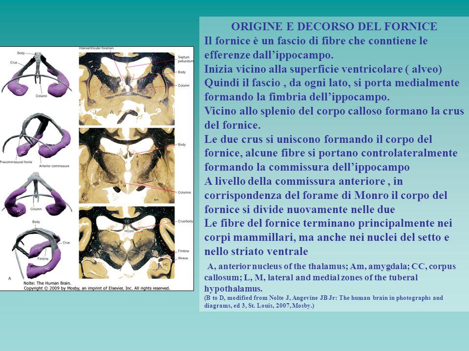 ORIGINE E DECORSO DEL FORNICE Il fornice è un fascio di fibre che conntiene le efferenze dallippocampo. Inizia vicino alla superficie ventricolare ( a