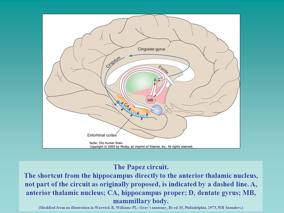 The Papez circuit. The shortcut from the hippocampus directly to the anterior thalamic nucleus, not part of the circuit as originally proposed, is ind