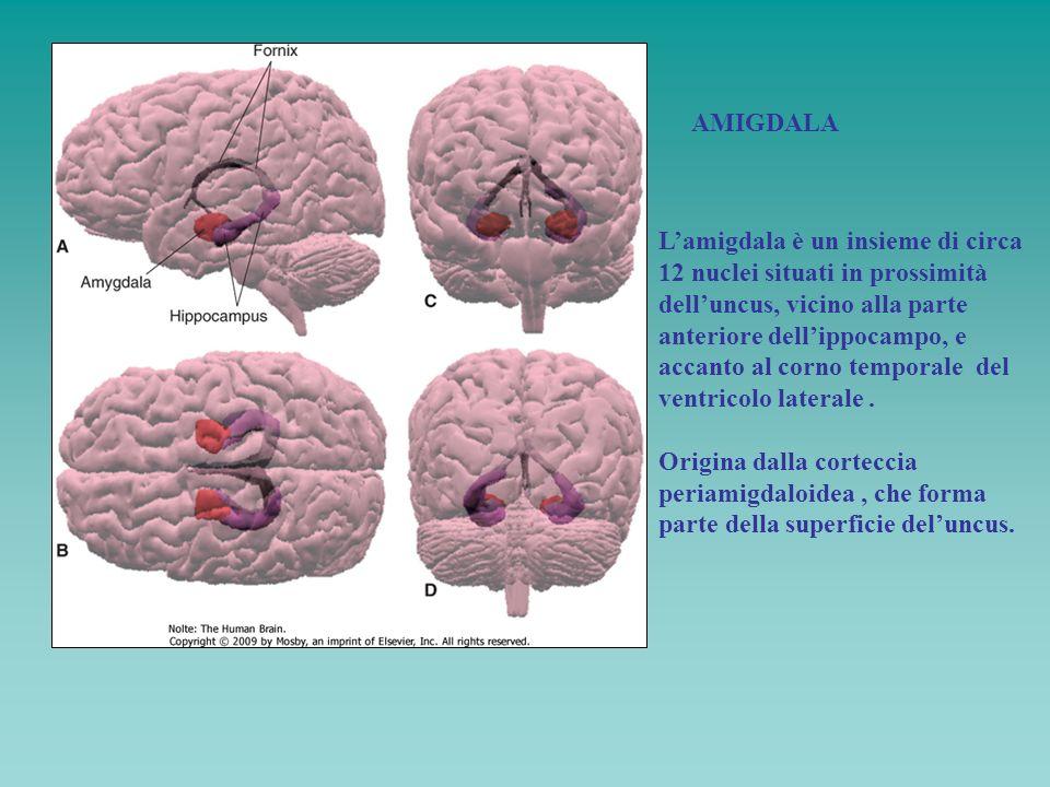 AMIGDALA Lamigdala è un insieme di circa 12 nuclei situati in prossimità delluncus, vicino alla parte anteriore dellippocampo, e accanto al corno temp