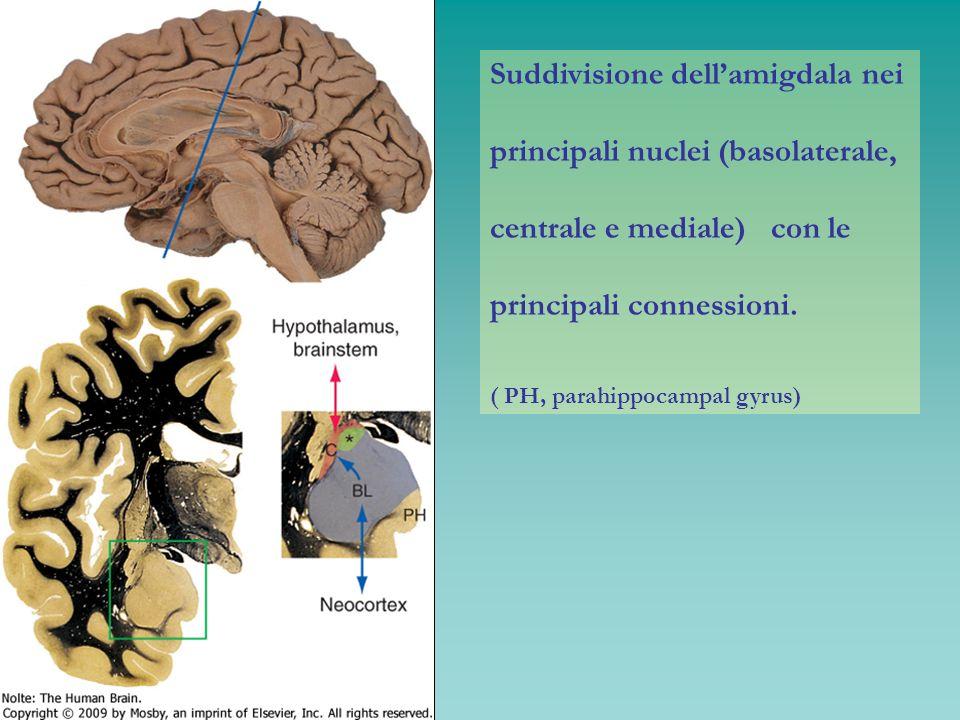 Suddivisione dellamigdala nei principali nuclei (basolaterale, centrale e mediale) con le principali connessioni. ( PH, parahippocampal gyrus)
