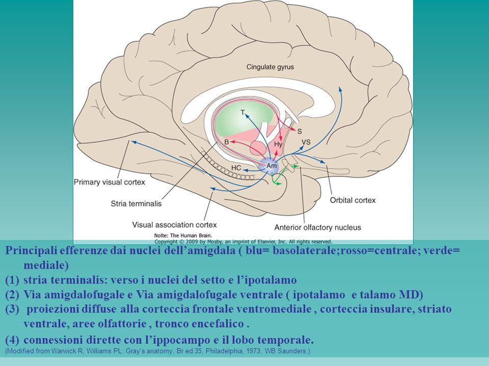 Principali efferenze dai nuclei dellamigdala ( blu= basolaterale;rosso=centrale; verde= mediale) (1)stria terminalis: verso i nuclei del setto e lipot