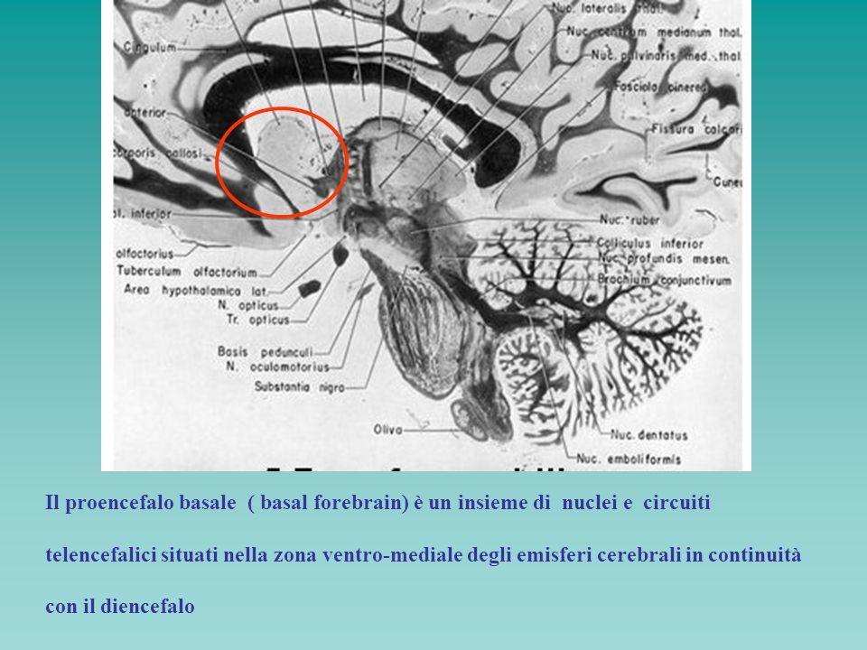 Il proencefalo basale ( basal forebrain) è un insieme di nuclei e circuiti telencefalici situati nella zona ventro-mediale degli emisferi cerebrali in