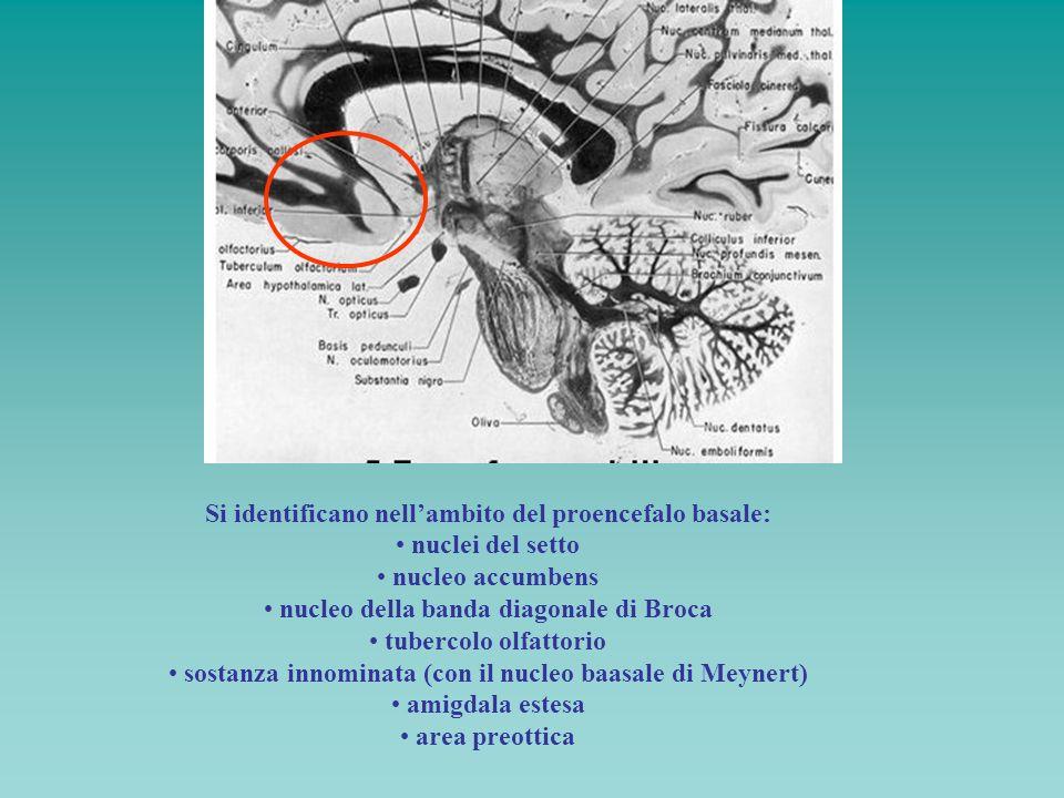 Si identificano nellambito del proencefalo basale: nuclei del setto nucleo accumbens nucleo della banda diagonale di Broca tubercolo olfattorio sostan