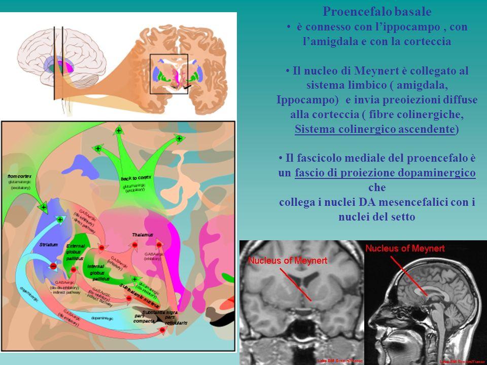 Proencefalo basale è connesso con lippocampo, con lamigdala e con la corteccia Il nucleo di Meynert è collegato al sistema limbico ( amigdala, Ippocam
