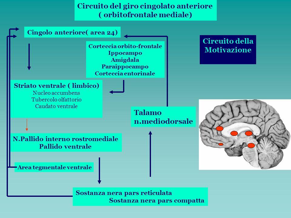 Circuito del giro cingolato anteriore ( orbitofrontale mediale) Cingolo anteriore( area 24) Striato ventrale ( limbico) Nucleo accumbens Tubercolo olf