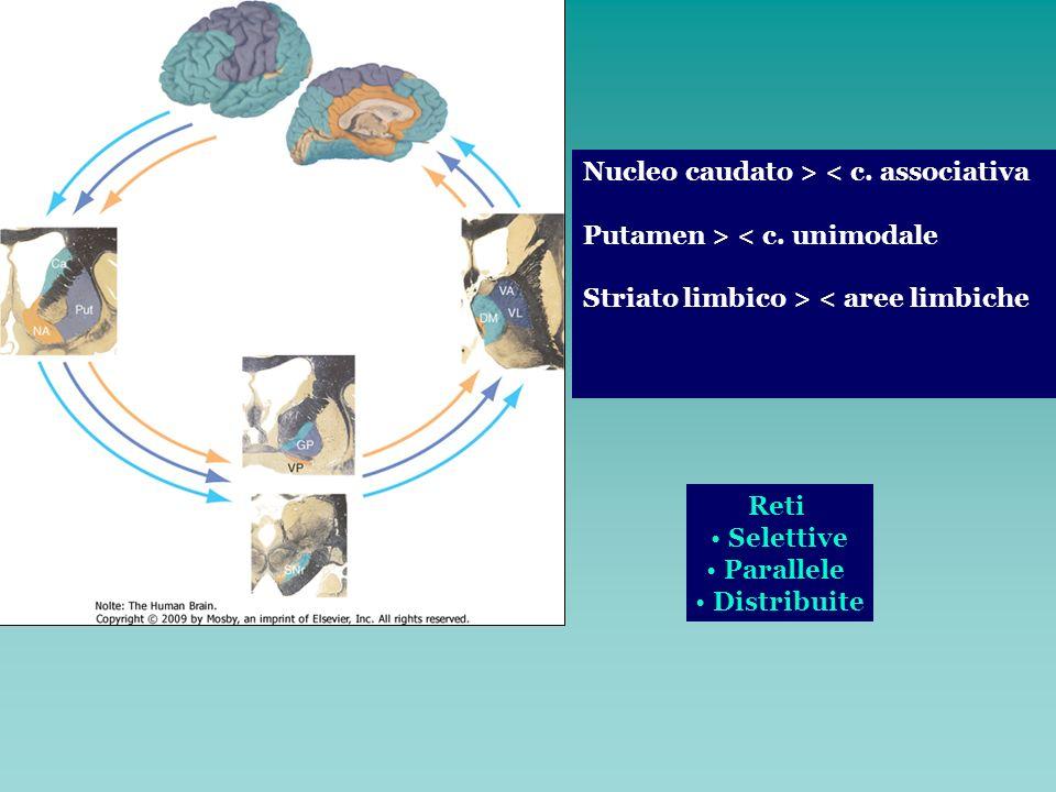 Nucleo caudato > < c. associativa Putamen > < c. unimodale Striato limbico > < aree limbiche Reti Selettive Parallele Distribuite