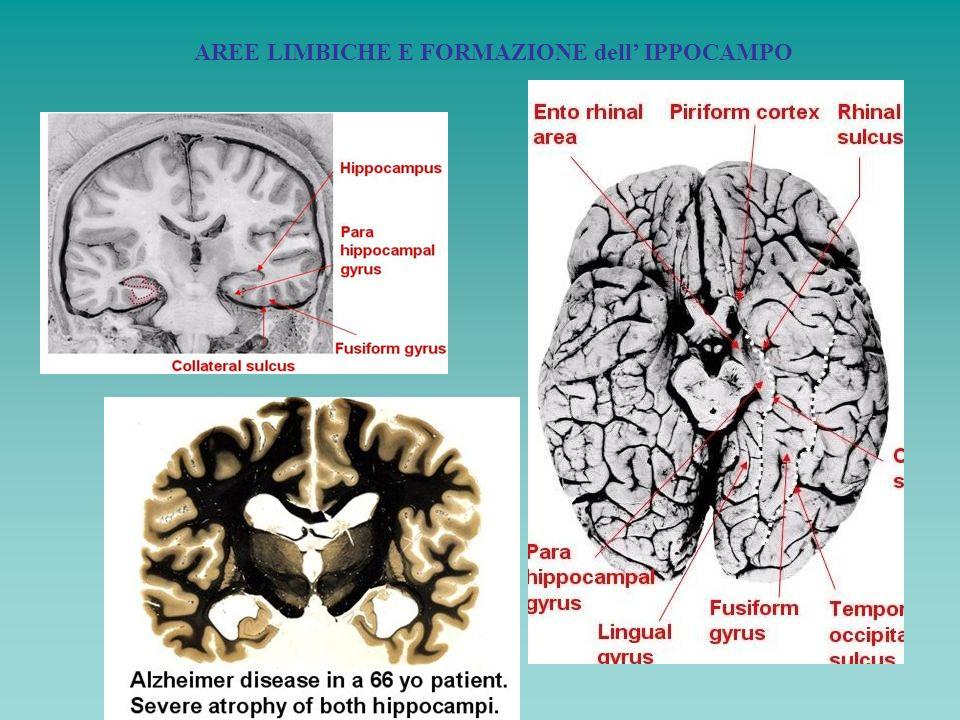 AFFERENZE DELLIPPOCAMPO: corteccia entorinale ( bulbo olfattorio) amigdala nuclei settali ippocampo controlaterale locus coerulus.