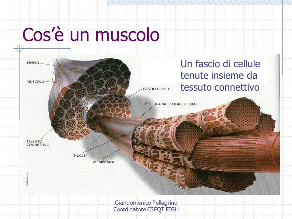 Giandomenico Pellegrino Coordinatore CSFQT FIGH Una singola fibra È formata da una membrana Da molti nuclei sparsi lungo la fibra, subito sotto la membrana Da migliaia di filamenti, le miofibrille, che costituiscono il citoplasma