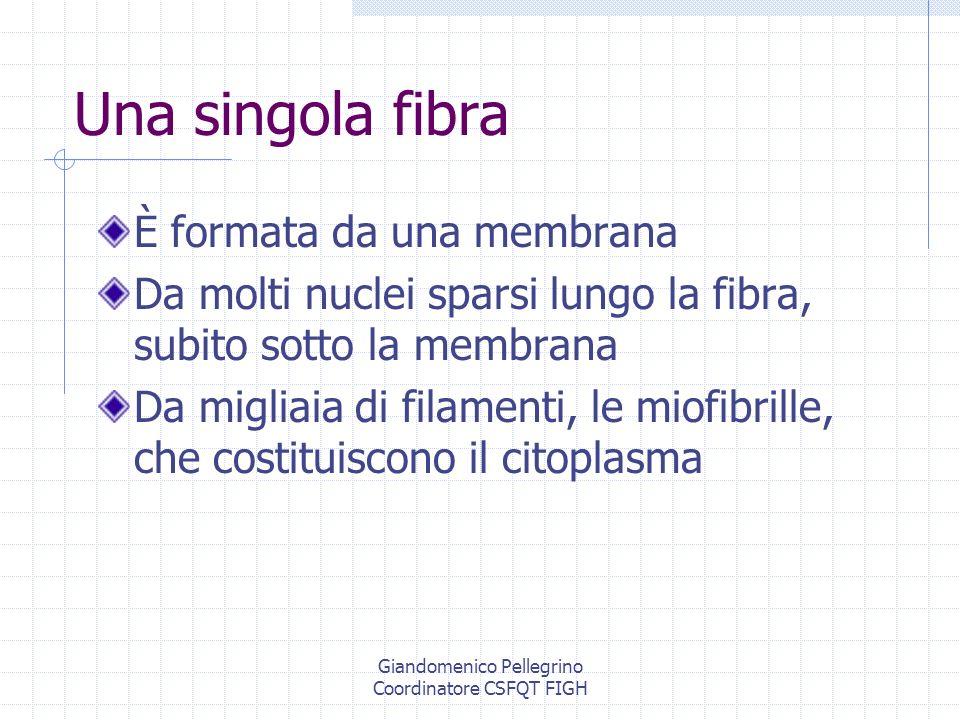 Giandomenico Pellegrino Coordinatore CSFQT FIGH Plasticità muscolare Con lallenamento è possibile una conversione tra i tipi II a e II x Vi sono indizi che un intenso allenamento coi pesi può convertire le fibre I in II Non è dimostrato che possa accadere il contrario se non a lunghissimo termine