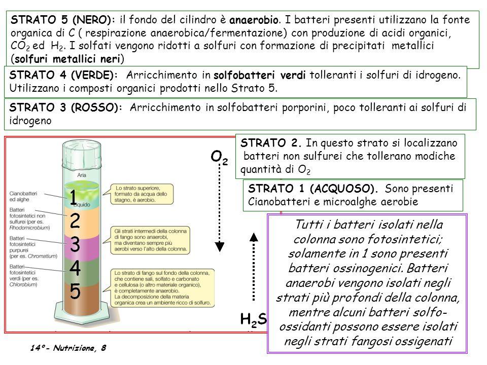 STRATO 5 (NERO): il fondo del cilindro è anaerobio. I batteri presenti utilizzano la fonte organica di C ( respirazione anaerobica/fermentazione) con