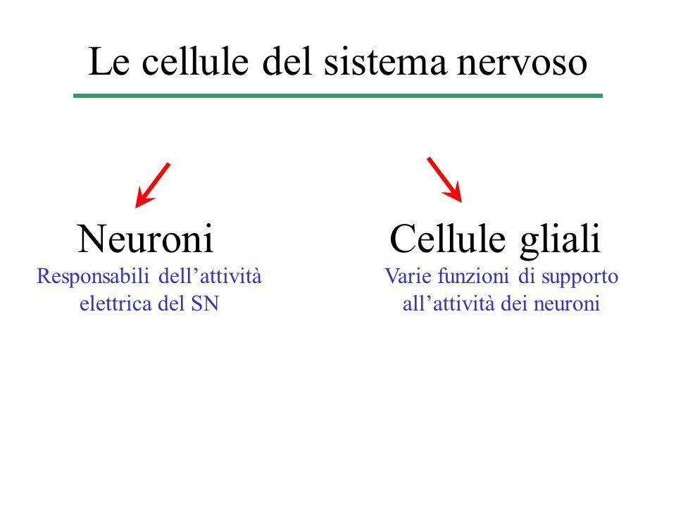 Le cellule del sistema nervoso Neuroni Responsabili dellattività elettrica del SN Cellule gliali Varie funzioni di supporto allattività dei neuroni
