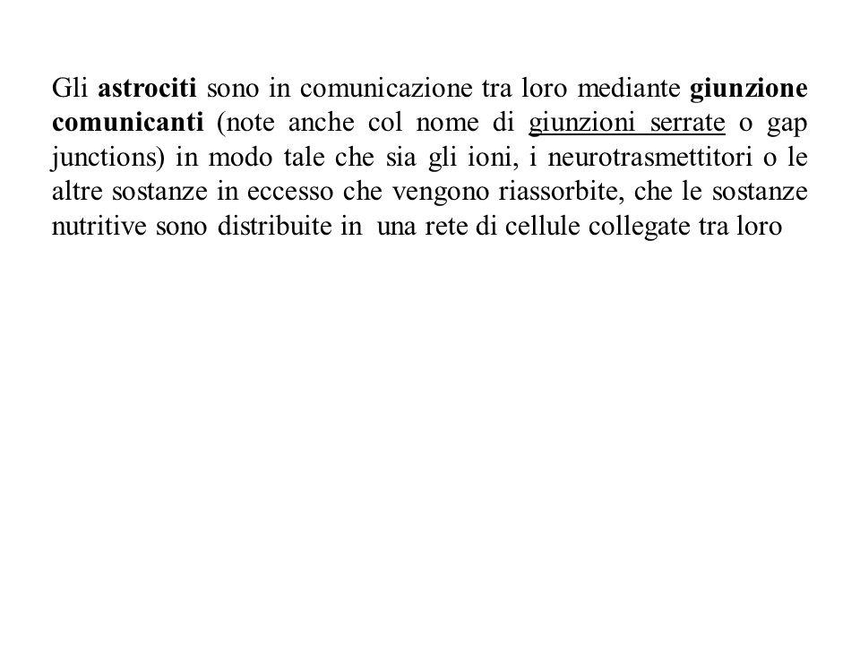 Gli astrociti sono in comunicazione tra loro mediante giunzione comunicanti (note anche col nome di giunzioni serrate o gap junctions) in modo tale ch